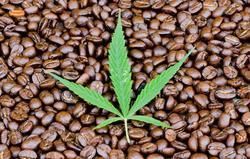 Coffeeweed Extract