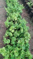 Grapes Plant