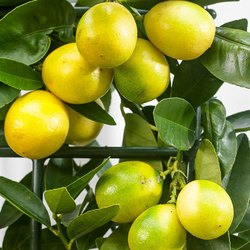 Lemon/Citrus Aurantifolia
