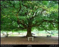 Tamarindus Indica Plants
