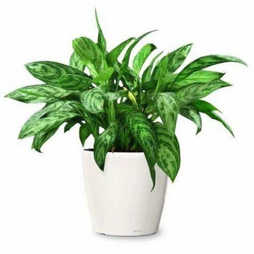225 & Phalaenopsis Flowering Pot Plant