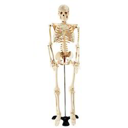 Human Skeleton Enter Model