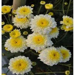 Purwa White Chrysanthemum Plant