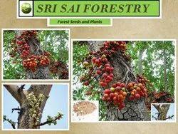 Ficus Racemosa Plants