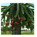 Dragon Fruits Plants