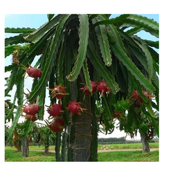 Dragon Fruits Plants