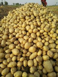 Pukharaj Potato, Packaging: 50 kg