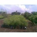 Green Bitty Kanher开花植物,花园,包装类型:包
