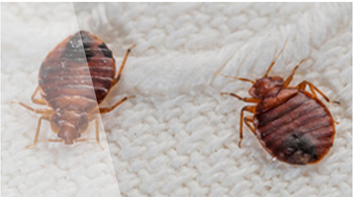 Bed Bugs Control Bed Bugs Control In S V Road Mumbai Doctor Pest