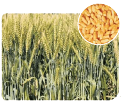 DBW 90 Wheat Seeds, For Cultivation
