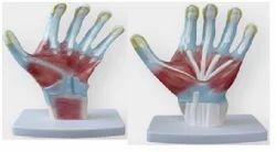 XC Palm Anatomy Models