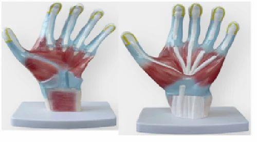 Palm Anatomy Models