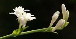 Rajnigandha Fragrance