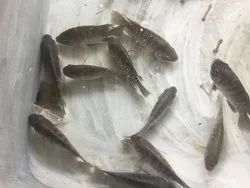 Fish Seeds - Wholesale Price & Mandi Rate for Fish Seeds