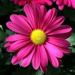 Pink Gerbera Daisy Flower