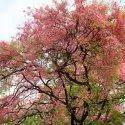 Cassia Grandis Tree