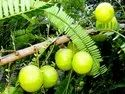 Amla / Indian Gooseberry / Emblica Officinalis Tree Seeds