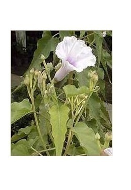 Ipomoea Carnea | Patparganj, New Delhi | Mother Herbs (P) Ltd | ID