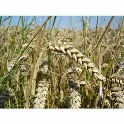 Dried Wheat Seed, For Animal Feed