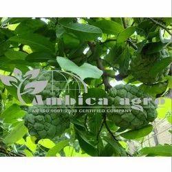 Samruddhi Custerd Apple Plants