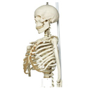 Physiological Skeleton Model Phil Hanging Stand