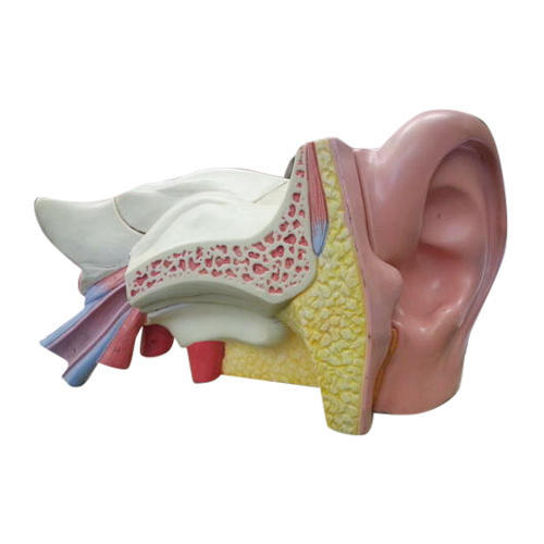 Ear Anatomical Model At Rs 3000 Piece Anatomical Models Id