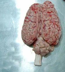 Buffalo Brain