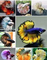 Full colour Betta Fish