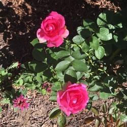 Pink Rose Plants