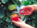 SE45 Fruit Pruners