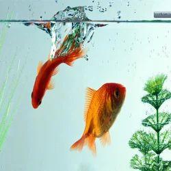 Orange And Golden Aquarium Freshwater Fish