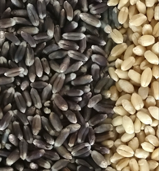 Black Wheat