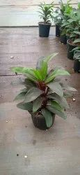 Cordyline Fruticosa Green Cordiline For Garden