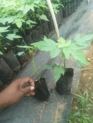 a Grade Papaya Red Lady, Packaging Size: 4 By 6