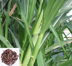 Super Napier Grass Seeds for Agriculture, Packaging Type: Bag