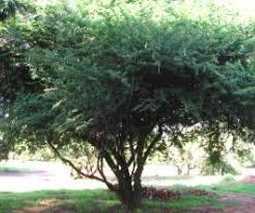 Babul Tree Seeds - Acacia Nilotica Seeds