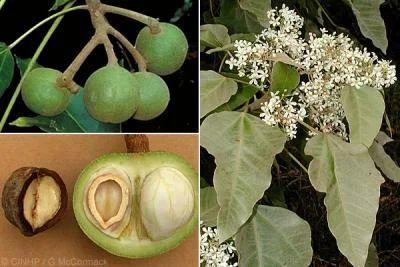 Lục Bát Hoa ĐV - Page 25 Aleurites-moluccana-candle-nut-seeds-500x500