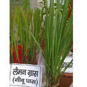 Green Lemon Grass Plant