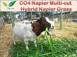 CO4 Napier Multi-cut Hybrid Napier Grass