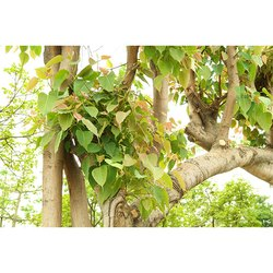 Ficus Religiosa Tree