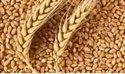UP Wheat 20000 Ton