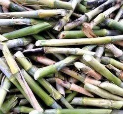 Nepier Grass Seed