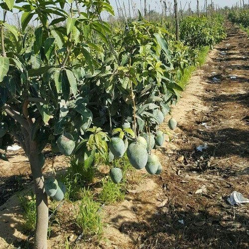 Fruit Plants Guava Exporter