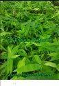 Bambusa Balcooa Bamboo Plant