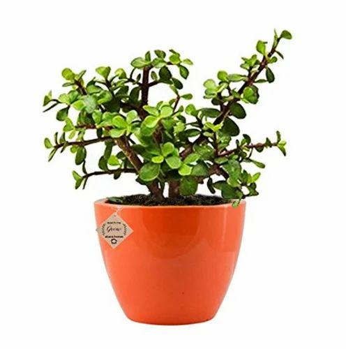 Abana Homes Good Luck Jade Plant