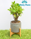 2 Year Old Eye Delight I Shape Ficus Bonsai Plant