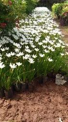 Mix Full Sun Exposure Lily for Garden