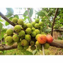 Fig Anjeer Tree