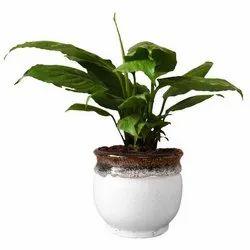 Peace Lily Live Plant