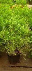 Kamini Flowering Plant